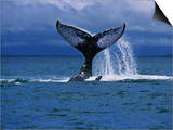 Humpback Whale, a Whale Tail Slapping, Sainte Marie Island, Indian Ocean Posters by Gerard Soury