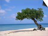 Divi Tree, Aruba Prints by Jennifer Broadus