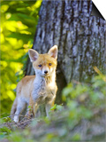 Red Fox, Fox Cub Standing Outside Den, Vaud, Switzerland Prints by David Courtenay