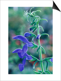 Gentian Sage, Close-up of Flower Prints by Mark Bolton
