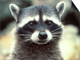 Close-up of a Raccoon Poster by Jim Oltersdorf