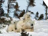 Polar Bear (Ursus Maritimus) Mother with Triplets, Wapusk National Park, Churchill, Manitoba Poster by Thorsten Milse