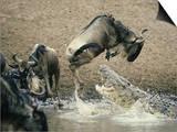 Nile Crocodile, Attacks Wildebeest, Serengeti, Tz Print by Victoria Stone & Mark Deeble