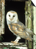 Barn Owl Perched in Old Window Frame, South Yorks Posters by Mark Hamblin