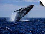 Humpback Whale, Breaching, Sea of Cortez Plakat autor Gerard Soury