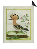 Hoopoe Posters by Georges-Louis Buffon