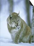 European Lynx, Female Grooming Foot, Norway Art by Mark Hamblin