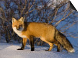 Redfox (Vulpes Vulpes), Churchill, Hudson Bay, Manitoba, Canada Prints by Thorsten Milse
