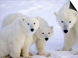 Polar Bears, Mother and Young, Manitoba, Canada Art by Daniel J. Cox