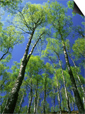 Silver Birch, Trees in Early Spring, Scotland, UK Posters by Mark Hamblin