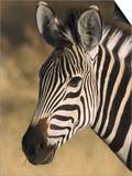 Burchells Zebra, Close-up Portrait, Botswana (August) Posters by Mark Hamblin