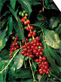 Coffee Beans on Tree, Costa Rica Posters by Inga Spence