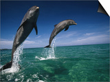 Bottlenose Dolphins, Tursiops Truncatus Prints by Stuart Westmorland