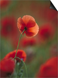 Common Poppy, Close-up of Flowers in Field, UK Prints by Mark Hamblin