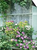 Summer Window Box, Petunia, Osteopermum, Window, Shutter, Lace Curtain Print by Lynne Brotchie