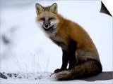 Redfox (Vulpes Vulpes), Churchill, Hudson Bay, Manitoba, Canada Posters by Thorsten Milse