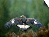 Golden Eagle, Male Perched, Highlands, Scotland Posters by Mark Hamblin