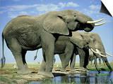 African Elephant, Amboseli National Park, Kenya Print by Martyn Colbeck