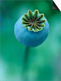 Seedhead of Papaver Somniferum (Poppy), Close-up of Green Seedhead Prints by Lynn Keddie