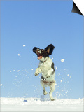 Springer Spaniel (4 Months Old) Jumping in Air to Catch Snow, February, Scotland Prints by Mark Hamblin