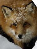 Red Fox, Winter, USA Poster by Daniel J. Cox