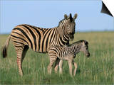 Burchell's (Plains) Zebra and Newborn Foal (Equus Burchelli), Etosha National Park, Namibia, Africa Print by Steve & Ann Toon