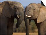 Elephants Socialising in Addo Elephant National Park, Eastern Cape, South Africa Kunst af Ann & Steve Toon