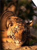 Indo Chinese Tiger Cub, Panthera Tigris Corbetti, Tiger Sanctuary for Confiscated Animals, Thailand Plakaty autor Lousie Murray