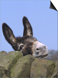 Donkey, Peering Over a Stone Wall, UK Stampe di Mark Hamblin