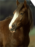 Horse, Chestnut & White Portrait Prints by Mark Hamblin