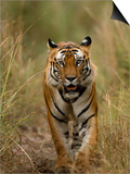 Bengal Tiger, (Panthera Tigris Tigris), Bandhavgarh, Madhya Pradesh, India Sztuka autor Thorsten Milse