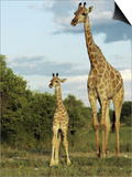 Adult and Young Giraffe Etosha National Park, Namibia, Africa Prints by Ann & Steve Toon