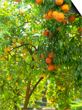 Orange and Lemon Trees in the Alcazar Gardens, Cordoba, Andalucia, Spain, Europe Prints by Newton Michael