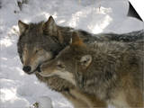 Gray Wolf, Two Captive Adults Kissing, Montana, USA Posters by Daniel J. Cox