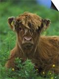 Highland Cow Print by Mark Hamblin