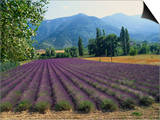 Lavender Field, Plateau De Sault, Provence, France Posters by Guy Thouvenin