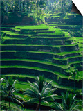 Rice Terraces, Bali, Indonesia, Southeast Asia Print by Harding Robert
