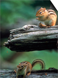 Two Eastern Chipmunks Posters