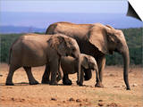 African Elephants (Loxodonta Africana), Addo Elephant National Park, South Africa, Africa Posters by Steve & Ann Toon
