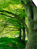 Line of Beech Trees in a Wood in Spring Poster by Lightfoot Jeremy