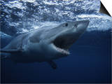 Great White Shark, Swimming, South Australia Print by Gerard Soury