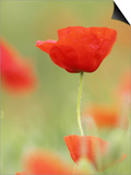 Common Poppy, Close-up of Single Flower in Arable Field, Scotland Posters by Mark Hamblin