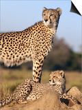 Cheetah (Acinonyx Jubatus) with Cub, Phinda Private Game Reserve, Kwazulu Natal, South Africa Posters af Ann & Steve Toon
