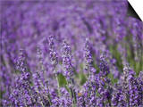 Lavender Field, Lordington Lavender Farm, Lordington, West Sussex, England, United Kingdom, Europe Posters by Jean Brooks