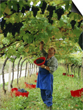 Man Picking Kabinett Grapes at Traminer Below Bolzano, Alto Adige, Italy Prints by Michael Newton
