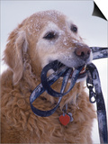 Golden Retriever with Leash in Mouth Posters by Bob Winsett