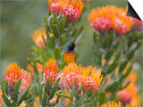 Orange-Breasted Sunbird, Anthobaphes Violacea, Kirstenbosch Botanical Garden, Cape Town Prints by Steve & Ann Toon