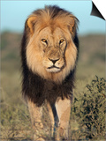 Lion (Panthera Leo), Kgalagadi Transfrontier Park, Northern Cape, South Africa, Africa Prints by Ann & Steve Toon
