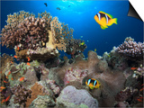 A Familly of Twoband Anemonefish (Amphiprion Bicinctus) on Coral Reef in the Red Sea, Egypt Prints by Stuart Keasley