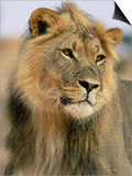 Lion, Panthera Leo, Kalahari Gemsbok National Park, South Africa, Africa Plakat af Ann & Steve Toon